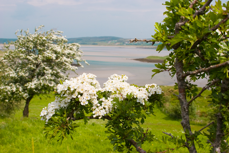 M20832_-_Donegal_-_View_of_Hawthorn_and_Inlet_at_Loughross_More_Bay