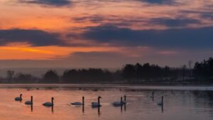 sunrise, swans, morning